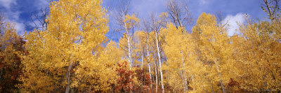 Aspen Trees, Colorado, USA Photographic Print by  Panoramic Images