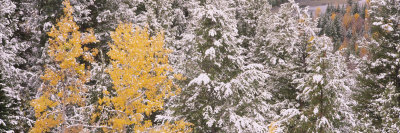 Pine Trees in a Forest, Grand Teton National Park, Wyoming, USA Photographic Print by  Panoramic Images