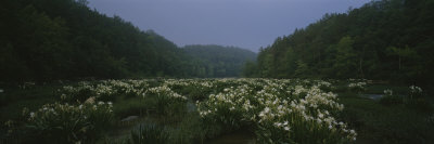 Spider-Lily in the Forest, Cahaba River, Alabama, USA Photographic Print by  Panoramic Images