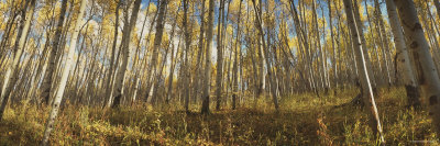Aspen Trees, Uncompahque National Park, Colorado, USA Photographic Print by  Panoramic Images