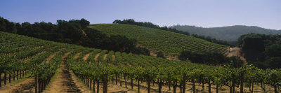 Vineyard on a Landscape, Napa Valley, California, USA Photographic Print by  Panoramic Images