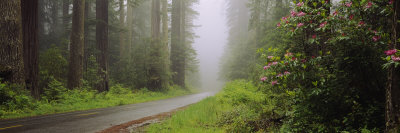 Empty Road Passing through a Forest, Redwood National Park, California, USA Photographic Print by  Panoramic Images