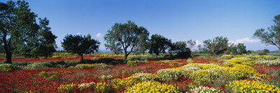 Almond Trees in a Field, Poppy Meadow, Majorca, Spain Photographic Print by  Panoramic Images