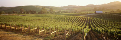 Vineyards, Carneros District, Napa Valley, California, USA Photographic Print by  Panoramic Images