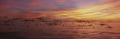 Flock of Birds Flying over a Sea, Gulf of Mexico, Venice Beach, Venice, Florida, USA Photographic Print by  Panoramic Images