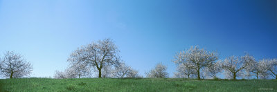 Blue Sky over Cherry Trees, Mission Peninsula, Traverse City, Michigan, USA Photographic Print