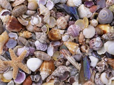 Mixed Sea Shells on Beach, Sarasata, Florida, USA Premium Photographic Print by Lynn M. Stone