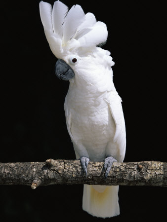 White or Umbrella Cockatoo Premium Photographic Print by Lynn M. Stone