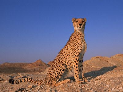 Cheetah, Tsaobis Leopard Park, Namibia Premium Photographic Print by Tony Heald
