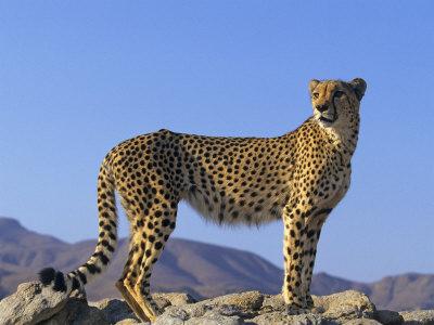 Portrait of Standing Cheetah, Tsaobis Leopard Park, Namibia Premium Photographic Print by Tony Heald