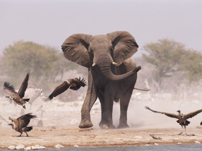 African Elephant, & Whitebacked Vultures by Waterhole, Etosha National Park, Namibia Premium Photographic Print by Tony Heald