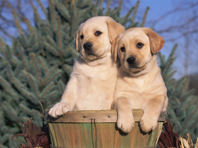 golden retriever puppies pictures. Golden Labrador Retriever