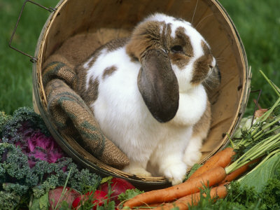 French Lop Eared Bunny for Images