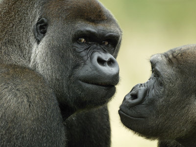 Two Western Lowland Gorillas Face to Face, UK Premium Photographic Print by T.j. Rich