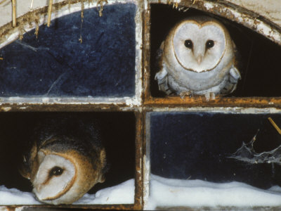 Barn Owls Looking out of a Barn Window Germany Premium Poster