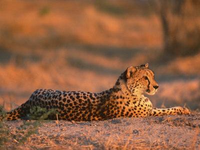 Cheetah, at Sunset, Okavango Delta, Botswana Premium Photographic Print by Pete Oxford