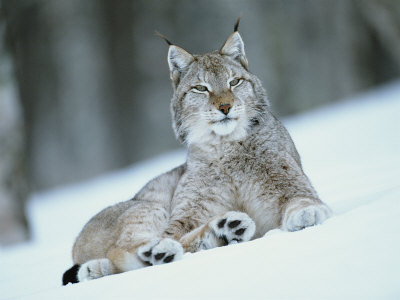 European Lynx in Snow, Norway Premium Photographic Print by Pete Cairns