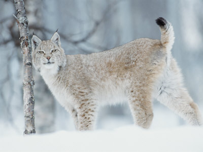 European Lynx in Birch Forest in Snow, Norway Premium Photographic Print by Pete Cairns