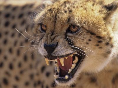 Cheetah Snarling (Acinonyx Jubatus) Dewildt Cheetah Research Centre, South Africa Premium Photographic Print by Tony Heald