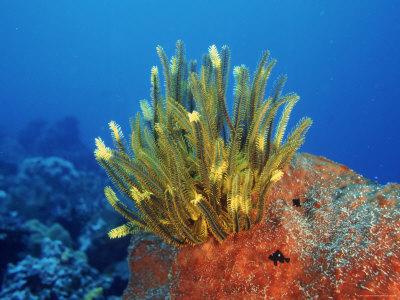 Yellow Featherstars on Sponge, Indo-Pacific Premium Photographic Print by Jurgen Freund