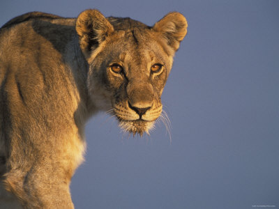 Lioness Portrait, Etosha National Park, Namibia Premium Poster