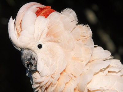 Salmon Crested Cockatoo (Moluccan Cockatoo) Premium Photographic Print by Lynn M. Stone