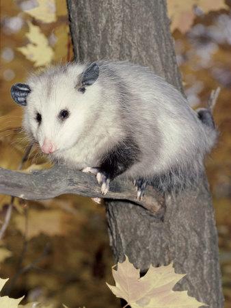 Virginia Opossum in Tree USA Premium Photographic Print by Lynn M. Stone