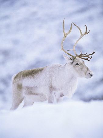 Reindeer Stag in Winter Snow (Rangifer Tarandus) from Domesticated Herd, Scotland, UK Premium Photographic Print by Niall Benvie