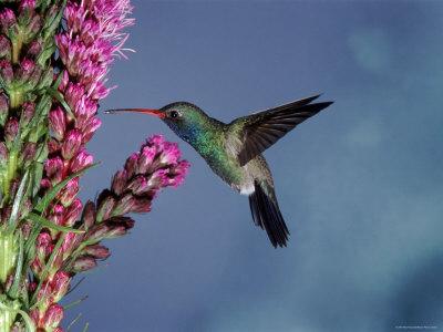Broad Billed Hummingbird (Cynanthus Latirostris) Az, USA Madera Canyon, Arizona Premium Photographic Print by Mary Mcdonald