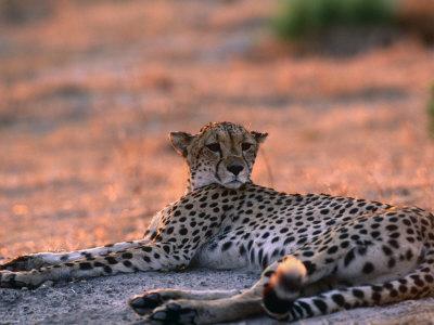 Cheetah Resting, Okavango Delta, Botswana Premium Photographic Print by Pete Oxford