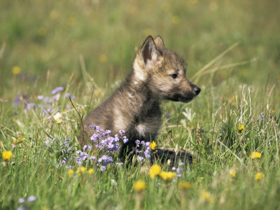 Black And White Wolf Pup. Grey Wolf Pup Amongst Flowers,