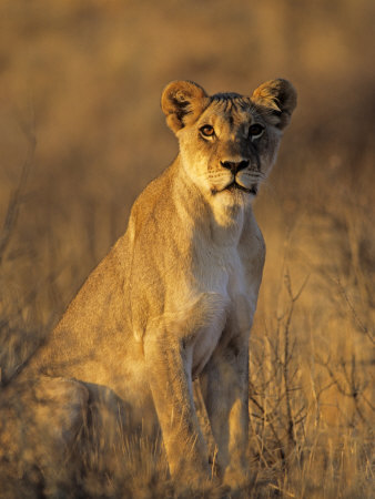 Lioness at Sunrise (Panthera Leo) Kalahari Gemsbok National Park South Africa Premium Poster