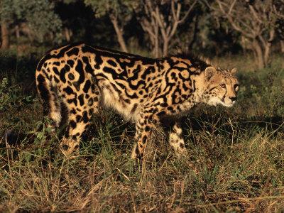 King Cheetah (Acinonyx Jubatus), De Wildt Game Park, South Africa Premium Photographic Print by Tony Heald