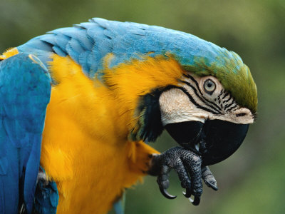 Blue and Yellow Macaw, S America Premium Poster