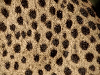 Cheetah Fur Detail Premium Photographic Print by Tony Heald