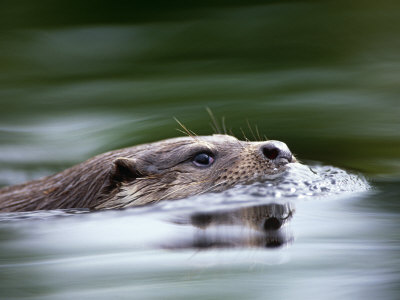 European River Otter Swimming, Otterpark Aqualutra, Leeuwarden, Netherlands Premium Photographic Print by Niall Benvie