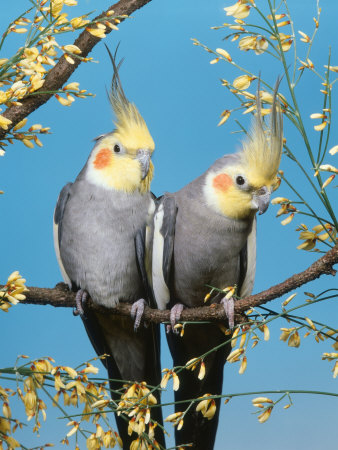 Two Cockatiels, Males (Nymphicus Hollandicus) Australia Premium Photographic Print by  Reinhard