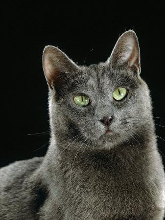 Domestic Cat, Russian Blue Female Premium Photographic Print by Jane Burton