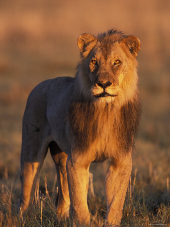 Male Lion Portrait in Evening Light, Etosha National Park, Namibia Premium Poster