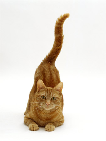 Domestic Cat, Ginger Tabby Female with Rear End and Tail in Air after Enjoying Being Stroked Premium Photographic Print by Jane Burton