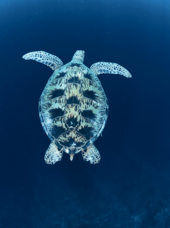 Green Sea Turtle, Indo Pacific Premium Poster