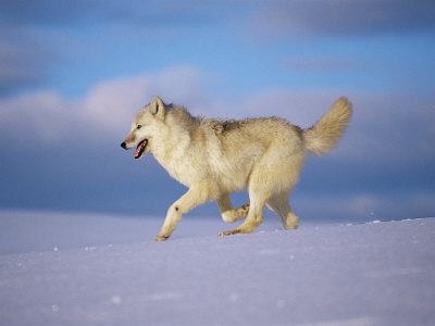 Aquí vivimos!  Stone-lynn-m-arctic-grey-wolf-running-through-snow-usa