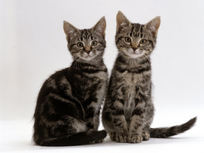 Domestic Cat, Two 8-Week Tabby Kittens, Male and Female Premium Poster