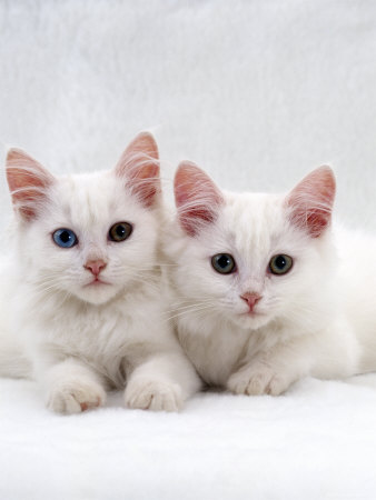 [عکس: burton-jane-domestic-cat-white-semi-long...d-eyes.jpg]