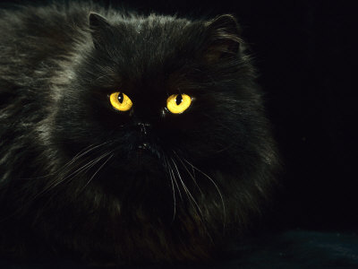 black cat eyes. Domestic Cat, Black Persian