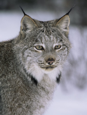 Lynx Portrait, USA Premium Photographic Print by Lynn M. Stone