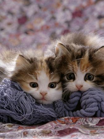 Domestic Cat Kittens, 8-Weeks, Tortoiseshell-And-White Sisters, (Persian-Cross') Premium Photographic Print by Jane Burton