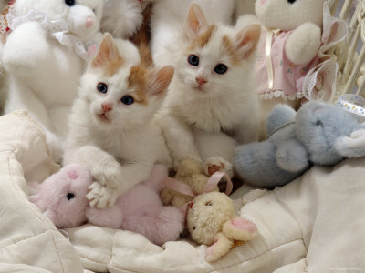 Domestic Cat, Two Turkish Van Kittens with Soft Toys in Crib Premium Photographic Print by Jane Burton