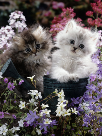 7-Weeks, Gold-Shaded and Silver-Shaded Persian Kittens in Watering Can Surrounded by Flowers Premium Photographic Print by Jane Burton