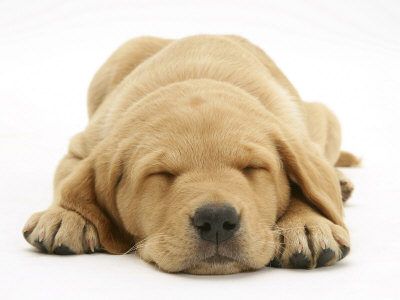 Domestic Labrador Puppy (Canis Familiaris) Sleeping Premium Poster